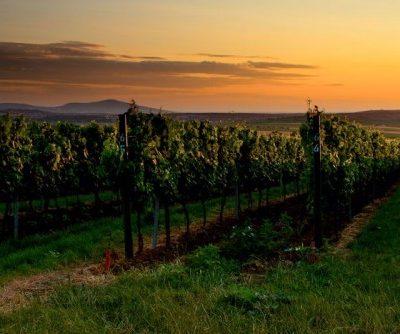 mitoma vinohrad